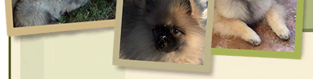 Keeshond Puppy lower collage